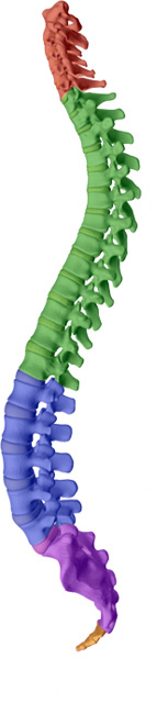 The chiropractor looks at the curves of the spine for their angulation and possible effect on pain like coccydynia in the lowest section of the spine (orange).
